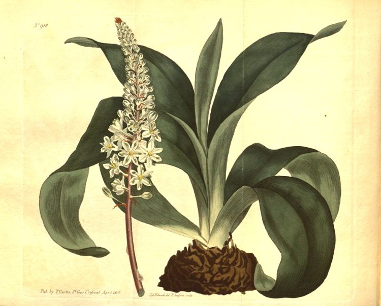 Squill - Urginea maritime, 1806