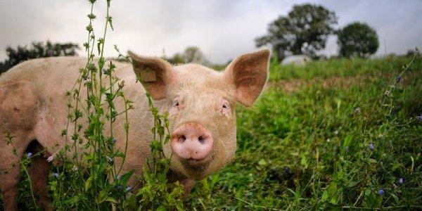 Adsdean_Pigs