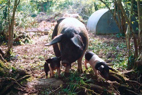 Goodwood_Free_Range_Pigs