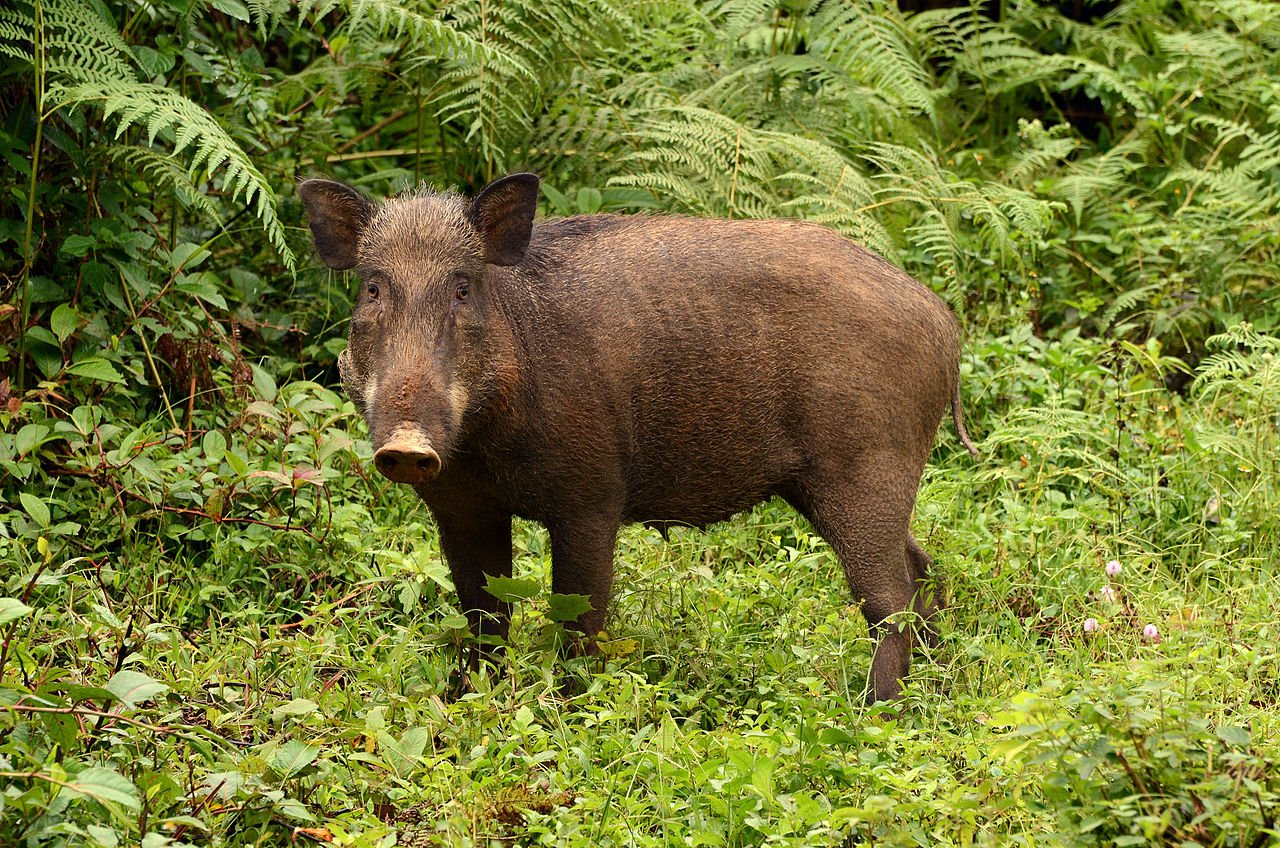 """Wildboar in Anamalai hills"" by PJeganathan - Own work. Licensed under CC BY-SA 3.0 via Wikimedia Commons - http://commons.wikimedia.org/wiki/File:Wildboar_in_Anamalai_hills.jpg#mediaviewer/File:Wildboar_in_Anamalai_hills.jpg"