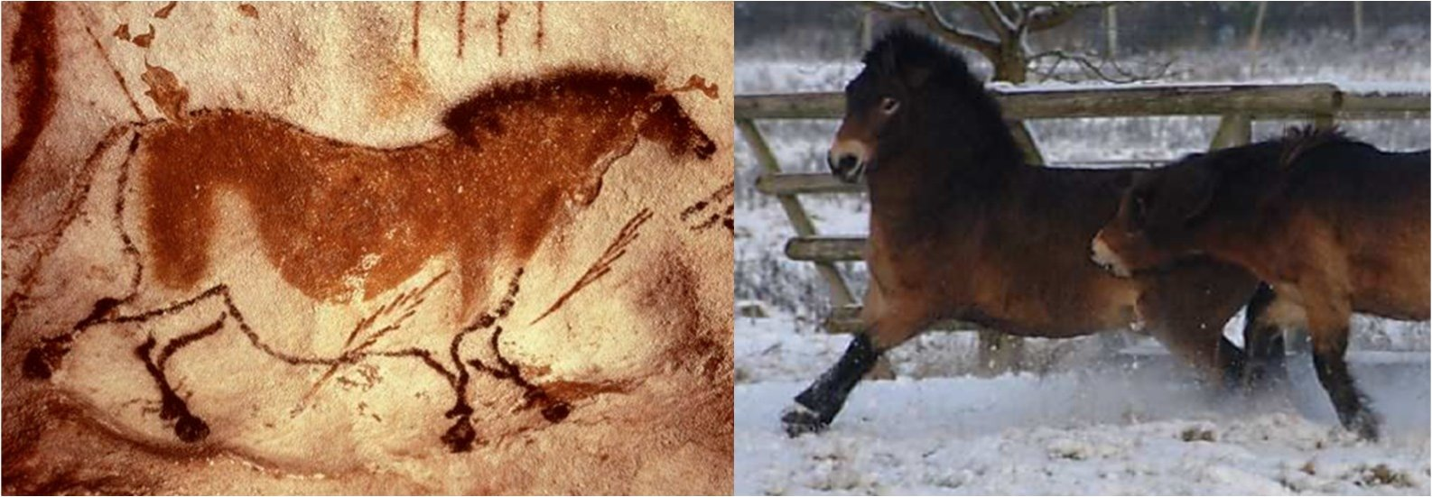 Knepp_Exmoor_Ponies