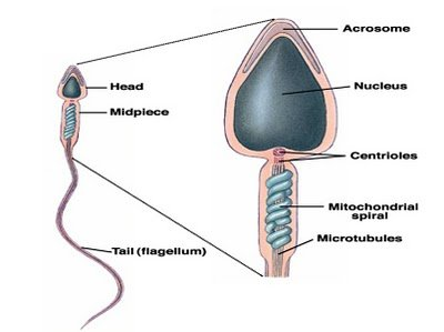 spermstructure