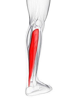 soleus-muscle