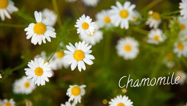 Chamomile - Herbal Medicine used by Neanderthals