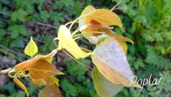 Black Poplar - Herbal Medicine used by Neanderthals