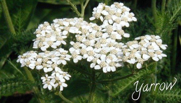 Yarrow (Achillea) - Herbal Medicine used by Neanderthals